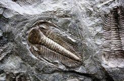 Trilobites fossilisés Photos libres de droits