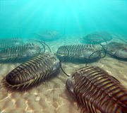 Trilobites Scavenging On The Seabottom. An illustration of trilobites moving about on the bottom of a warm Paleozoic sea Royalty Free Stock Image