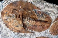 Trilobyte-Fossilien lizenzfreie stockfotografie