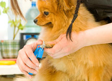 Trim dogs toenails Royalty Free Stock Images