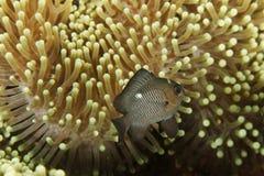Trimaculatus di Dascyllus - mare di Andaman immagini stock