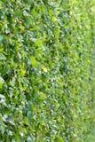 Trimed bush wall Stock Photos