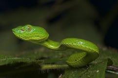 Trimeresurus Fucata ögon Royaltyfria Bilder