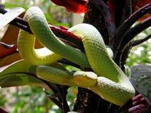 Trimeresurus graminus Bamboo pit viper Stock Photos