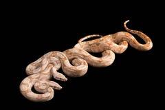 Trimeresurus puniceus Stock Image