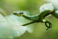 Trimeresurus trigonocephalus [srilankesisk grön pitviper] arkivfoto