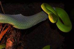 Trimeresurus. Venom herpetology danger  animal pit  viper,poison snake with venom,green viper,herpetology Stock Photo
