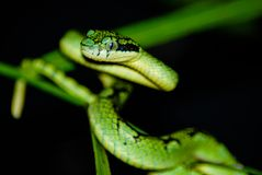 Trimeresurus wagleri coiled and ready to strike. From its perch stock photo