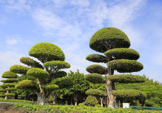 Trimmed banyan tree Royalty Free Stock Images