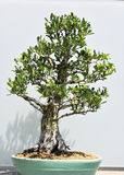 Trimmed Bonsai Plant Stock Photography