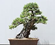 Trimmed Bonsai Plant Stock Images