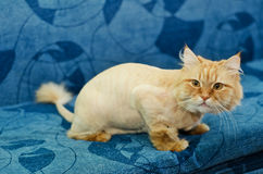 Trimmed cat sitting on the couch. Red-haired cat with a tassel on the tail sitting on a blue sofa Royalty Free Stock Photo