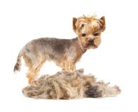 Trimmed dog Stock Image