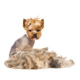 Trimmed dog. Photo of trimmed Yorkshire Terrier with heap of fur isolated on white Royalty Free Stock Photo