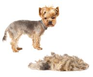 Trimmed dog. Photo of trimmed Yorkshire Terrier with heap of fur isolated on white Royalty Free Stock Photography