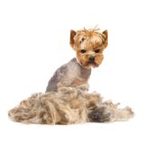 Trimmed dog Stock Images