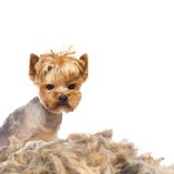 Trimmed dog Royalty Free Stock Image
