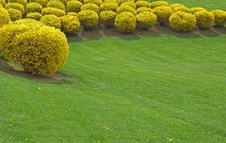 Trimmed forsythia. Planted in an arc Stock Image