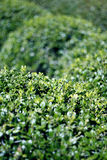 Trimmed Green Bushes Stock Photos
