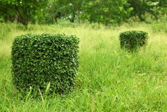 Trimmed hedge Plants. Ornamental trimmed hedge plants in the park royalty free stock image