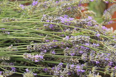 Trimmed lavander stock images