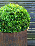 Trimmed myrtle tree in a rusty iron pot Royalty Free Stock Photography