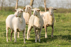 Trimmed sheep. Standing on grassland and looking in one direction Stock Images