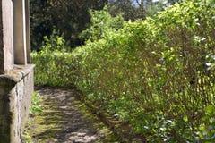 Trimmed shrub fence in garden Stock Photos