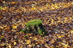 The trimmed stump Royalty Free Stock Photography