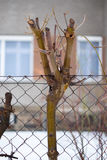 Trimmed tree ingrowing into mesh fence Stock Photo