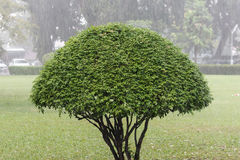 Trimmed tree. Trimmed tree standing in the rain royalty free stock photo