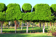Trimmed trees in garden Royalty Free Stock Photo