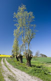 Trimmed trees landscape. Beautiful Polish rural landscape with a country read leading deep into the fields, interesting trimmed trees at the side Royalty Free Stock Images