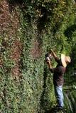 Trimmen der großen Hecke-Wand Lizenzfreies Stockfoto