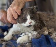 Trimmen der persischen Katze Stockbild