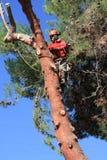 Trimmer δέντρων στους γάντζους στο δέντρο πεύκων στοκ εικόνες