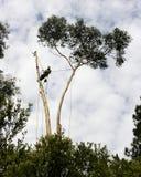 Trimmer d'arbre se tenant sur un arbre Images libres de droits