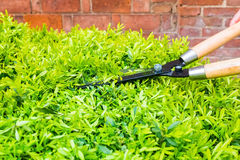 Trimming bushes with garden scissors Stock Images
