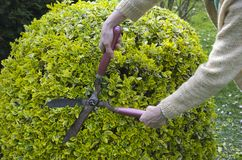 Trimming bushes with garden scissors. Woman trimming bushes with garden scissors Royalty Free Stock Image