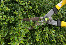 Trimming bushes with scissors Royalty Free Stock Photos