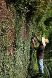 Trimming Large Hedge Wall Royalty Free Stock Photo