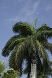 Trimming the palm tree Royalty Free Stock Photos
