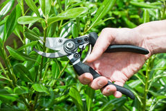 Trimming plants with secateurs in summer Royalty Free Stock Image