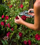 Trimming A Rose Bush. Female trimming a climbing rose bush with a pair of clippers Stock Photos