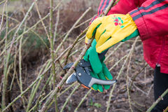 Trimming the rose bushes Stock Image
