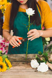 Trimming a rose Royalty Free Stock Photo