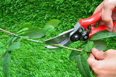 Trimming rose flower branch Stock Photography