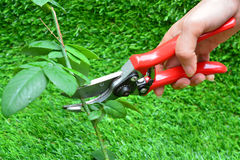 Trimming rose flower branch Stock Photos
