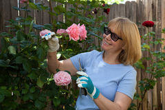 Trimming Roses Royalty Free Stock Images