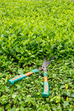 Trimming shrubs scissors Stock Image